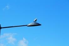 Seagull, Bird On A Street Lamp