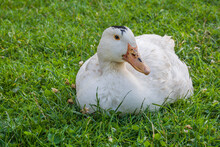 Mulard Duck Sitting In The Green Grass