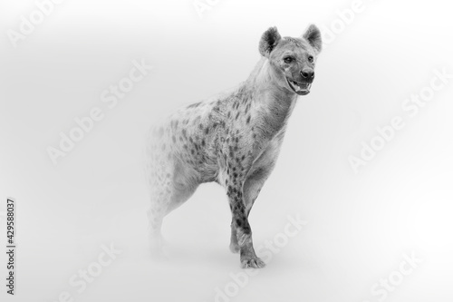 Fotografie, Tablou spotted hyena African wildlife animal art collection