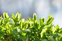 Green Shrub Lit By The Sun. Spring Background