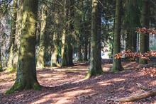 Une Forêt Paisible En Ardenne