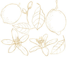 Watercolor Set Of Line Art Lemons, Flowers, Gold Leaves And Buds. Hand Painted Fresh Fruits Isolated On White Background. Tasty Food Illustration For Design, Print, Fabric Or Background.
