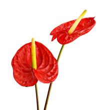 Red Anthurium Flamingo Flower