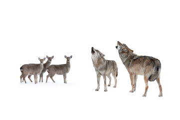 scared deer with fear looks at howling wolves isolated on white background