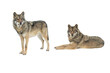 two gray wolves isolated on white background