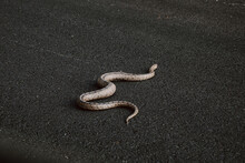 Snake On The Hot Asphalt Of The Road Seen From The Car.