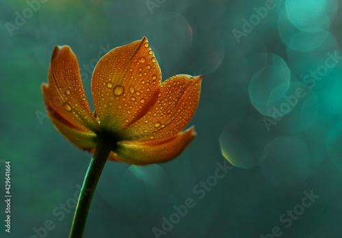 Obraz Pomarańczowy kwiat - fototapety do salonu