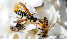Large Wild Wasp On A Single Flower With A Bee And Tropinota Hirta