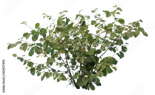 Photo Common hazel bush isolated on white background