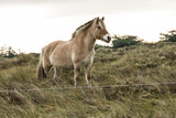 ponies eating beach graas and herbs in nature area on the Wadden Island of Vlieland