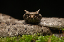 Mexican Horned Pit Viper Ophryacus Undulatus