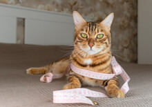 Bengal Kitty Lies On The Bed With A Measuring Tape