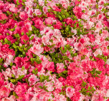 Bougainvillea Is A Genus Of Thorny Ornamental Vines, Bushes, And Trees Belonging To The Four O' Clock Family, Nyctaginaceae.