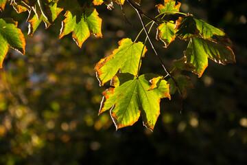 jesienne liście w promieniach zachodzącego słońca