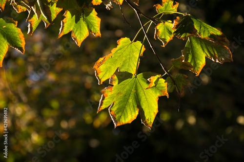 jesienne liście w promieniach zachodzącego słońca - fototapety na wymiar