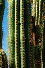 Vertical Shot Of Tall Cactus Plant Against A Clear Blue Sky