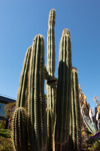 Natural View Of Tall Cactus Plants Under A Clear Blue Sky