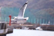 広島呉線港町周辺、翼を広げるカモメ。