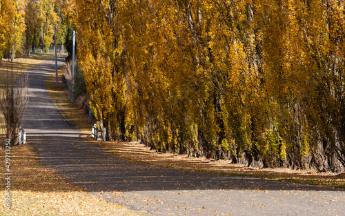 Fotografie, Obraz The base view of yellow poplar trees.