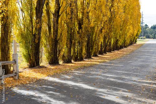 Obraz na plátně The base view of yellow poplar trees.