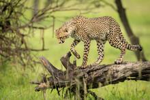 Cheetah Cub Walks On Log Looking Down
