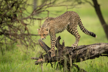 Cheetah Cub Stands On Log Looking Down