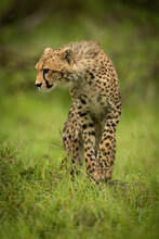 Cheetah Cub Stands On Grass Looking Down