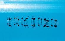 Flamingo Resting In Saihat Shoreline