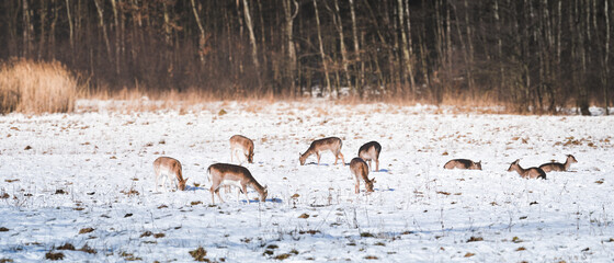 In winter, wild fallow deer(Dama dama) graze in a meadow near the forest. Animals are looking for food under the white snow.