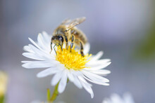 Bee - Apis Mellifera - Pollinates Michaelmas Daisy - Aster Novi-belgii