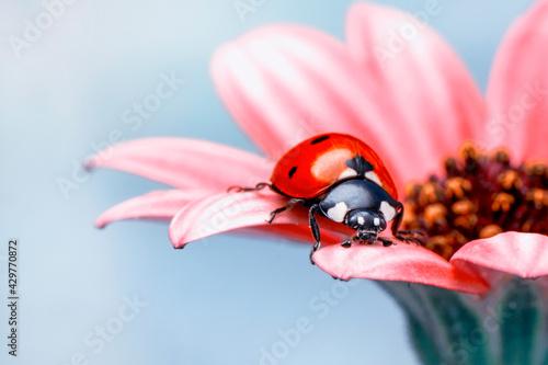 Fototapeta Extreme macro shots, Beautiful ladybug on flower leaf defocused background