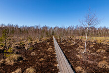 Wooden Pathway In Brown Peat Bog Of Latvia. View To Brown Peat Moor, Birch Tree, Forest And Wooden Path During Bright Day In Early Spring