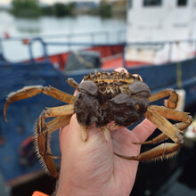 Eriocheir Sinensis Crab In A Fisherman Hand, Close-up. Fishing Boat In The Background. Traditional Craft, Catching, Food Industry, Seafood, Environmental Damage And Conservation, Invasive Species