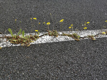 Closeup Shot Of Weeds And Wildflowers Growing Through Cracks In Cement