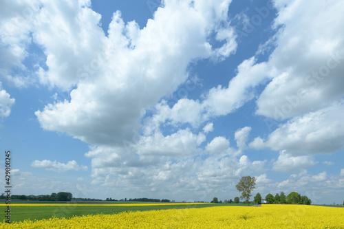 Kwitnący rzepak , piękne niebo. - fototapety na wymiar