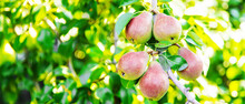 Pears Growing On A Pear Tree. Pear Garden Selective Focus
