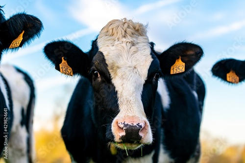 Tablou Canvas portrait of holstein cow in pasture