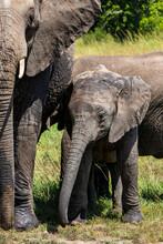 Elephants Taking A Mud Bath  On The Plains Of The Masai Mara National Reserve In Kenya