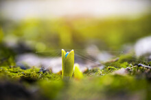 A Delicate Fragile Flower Sprout In The Forest Stretches Towards The Sun. Agricultural Crops In The Open Field. Selective Focus.