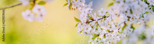 Canvas-taulu Beautiful panoramic spring scenery with cherry blossom and bokeh background