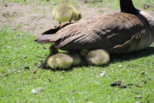 Mother Goose Sitting On A Family Of Goslings