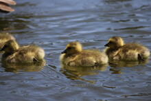 Goslings Swimming In A Pond