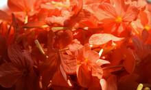 The Golden Beauty Of Garden, Kanakambaram Flowers