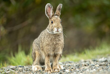Snowshoe Hare Brown Taken In Alaska