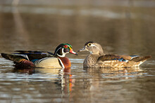 Wood Duck Male And Female  Taken In Southern MN
