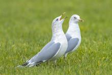 The Common Gull, Mew Gull Or Sea Mew, Larus Canus.