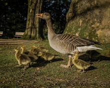 Closeup Of The Mother Goose Walking On The Ground With Its Adorable Small Goslings In The Park