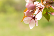 Close-up Of Wild Apple Blossoms On A Bright Light Green Background. An Image For Creating A Calendar, Book, Or Postcard. Selective Focus. Blurred