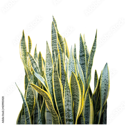 Cuadros en Lienzo This is a picture of the Agave tree in a white background,Cut images that can be later used,Green yellow bush pictures,Picture of a plant with spiky leaves