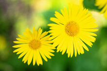 Doronicum Orientale, The Leopard's Bane, Is A European Plant Species In The Family Asteraceae.